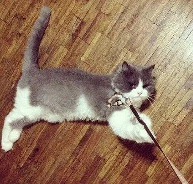当猫主子得知你想溜它时