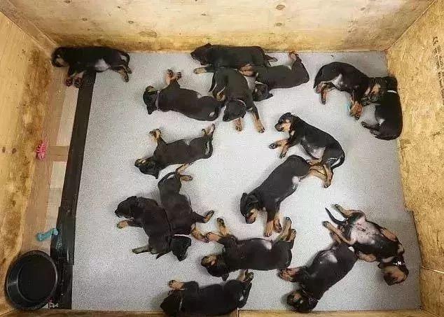 产检时,医生告诉他,狗狗肚子里有六只小狗,结果生了16只