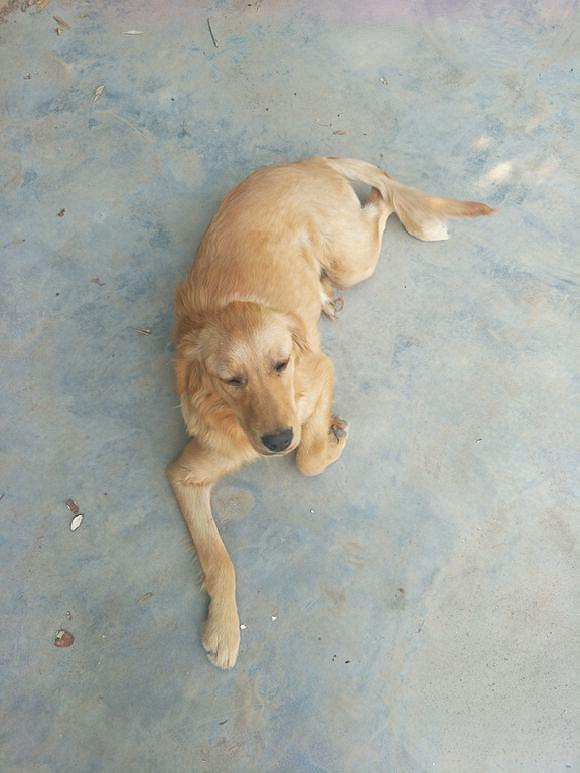 金毛自己跑到网友家不走了,已经养了两个月,它还是那么瘦