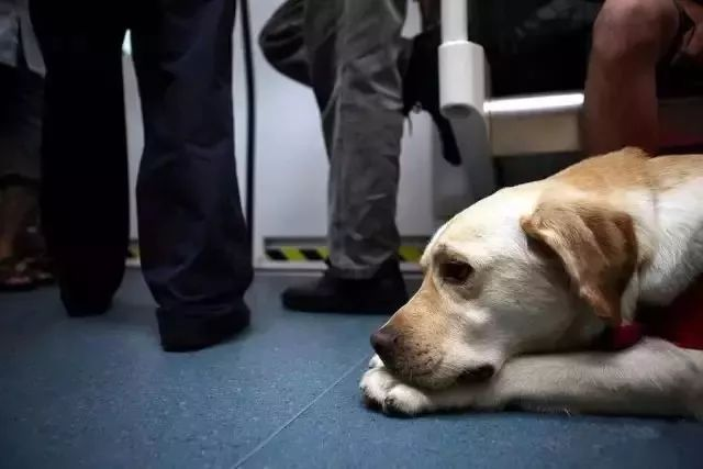 合肥首只导盲犬很委屈,乘公交车却被拒