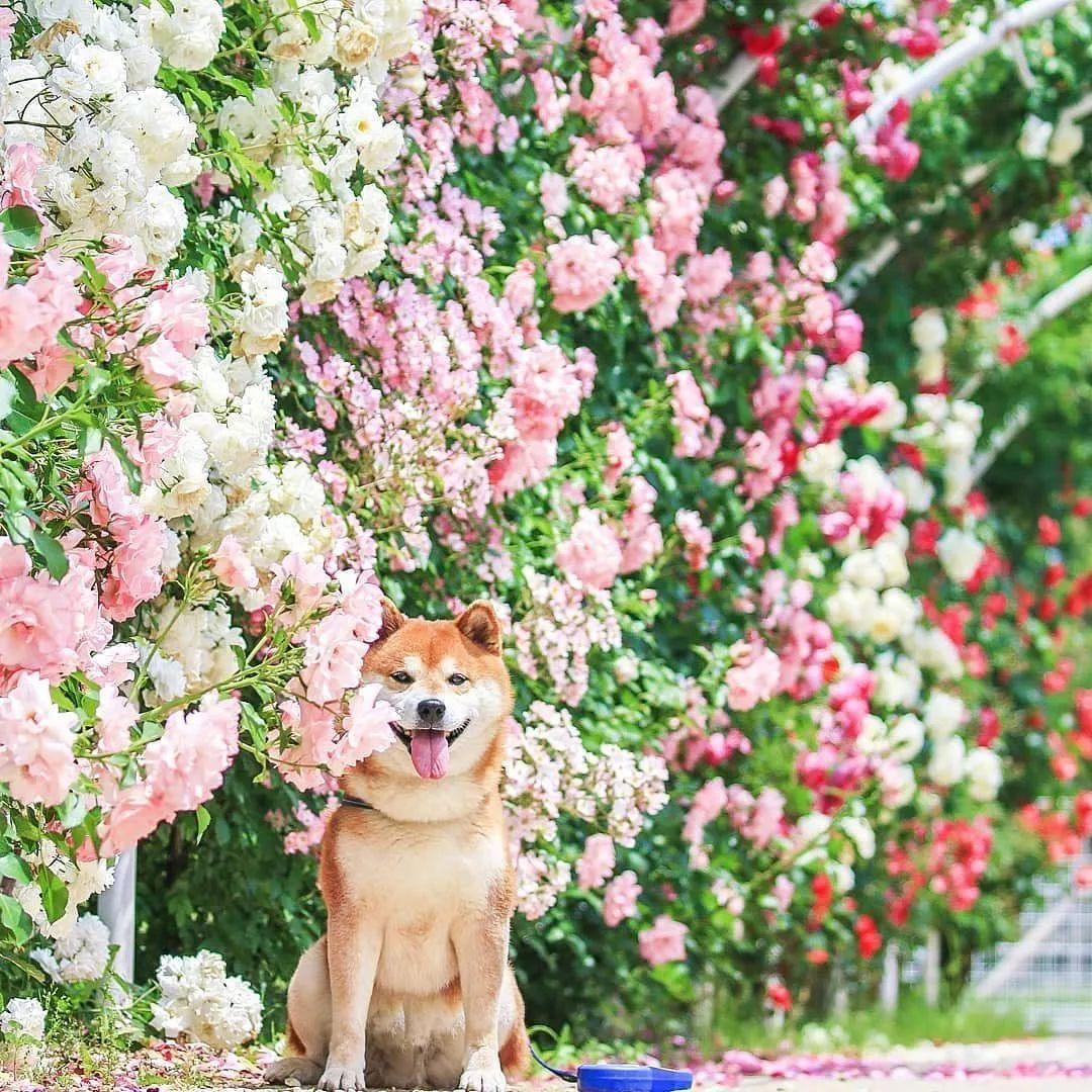 花海里的柴犬,美得让人窒息