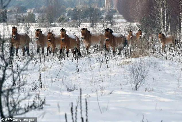 """33年后""""人间地狱""""切尔诺贝利 野生动物将这里变天堂的照片 - 7"""