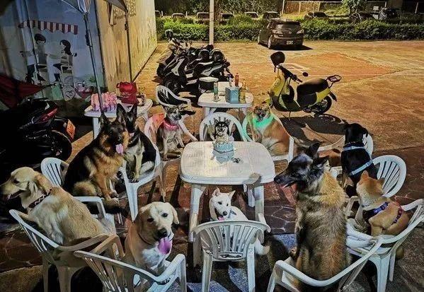 柴柴过生日,请了11只狗狗好友开派对…羡慕了!
