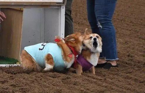 美国加州最近举办了一场柯基赛跑大赛,有上百只柯基参加