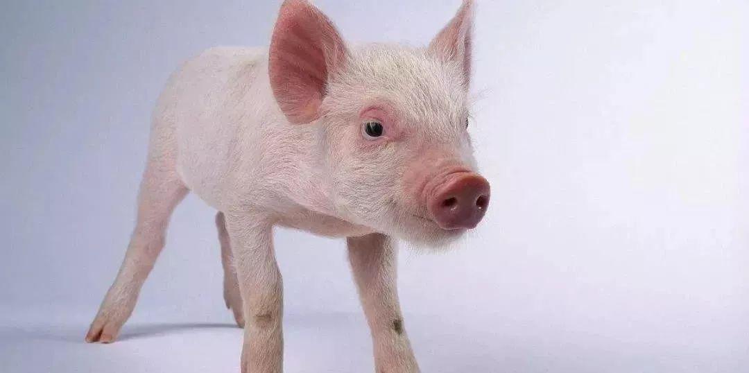 猪肉股猛涨,但与猪共舞并不容易