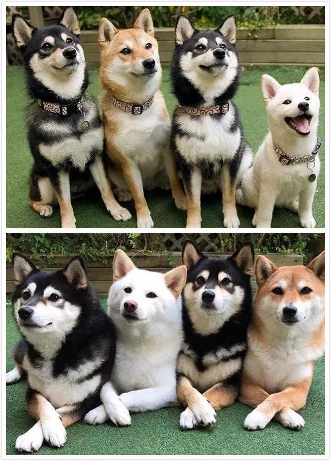 集齐白赤黑三色柴犬的日常,每个镜头都要被萌炸!