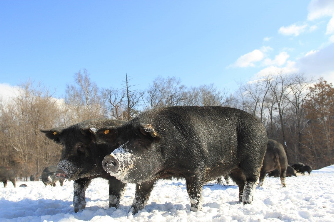 吃過黑豬肉,卻沒見過它跑?京東618帶你飛奔起來!