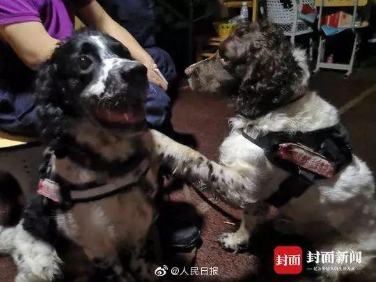 搜救犬俩兄弟被累瘫:妈妈是汶川功勋犬,弟弟因救援牺牲