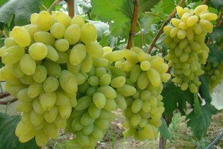葡萄和提子有啥区别?葡萄上有白霜,还能吃吗?图2