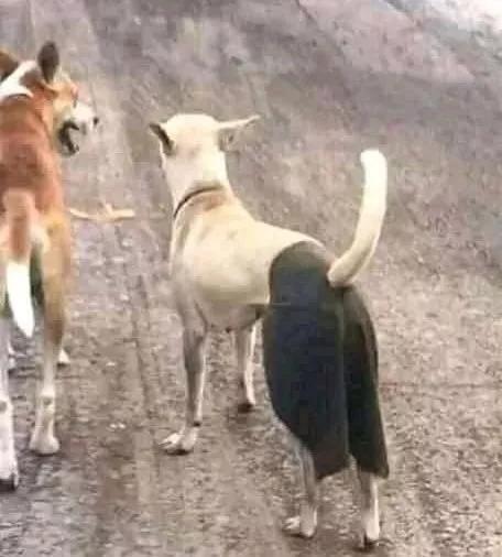 为了保护狗狗的贞操,主人的操作笑屎个人!