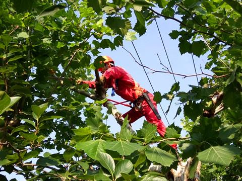 胜利油田河口管理中心孤岛环卫绿化大队控高修剪大树消除安全隐患