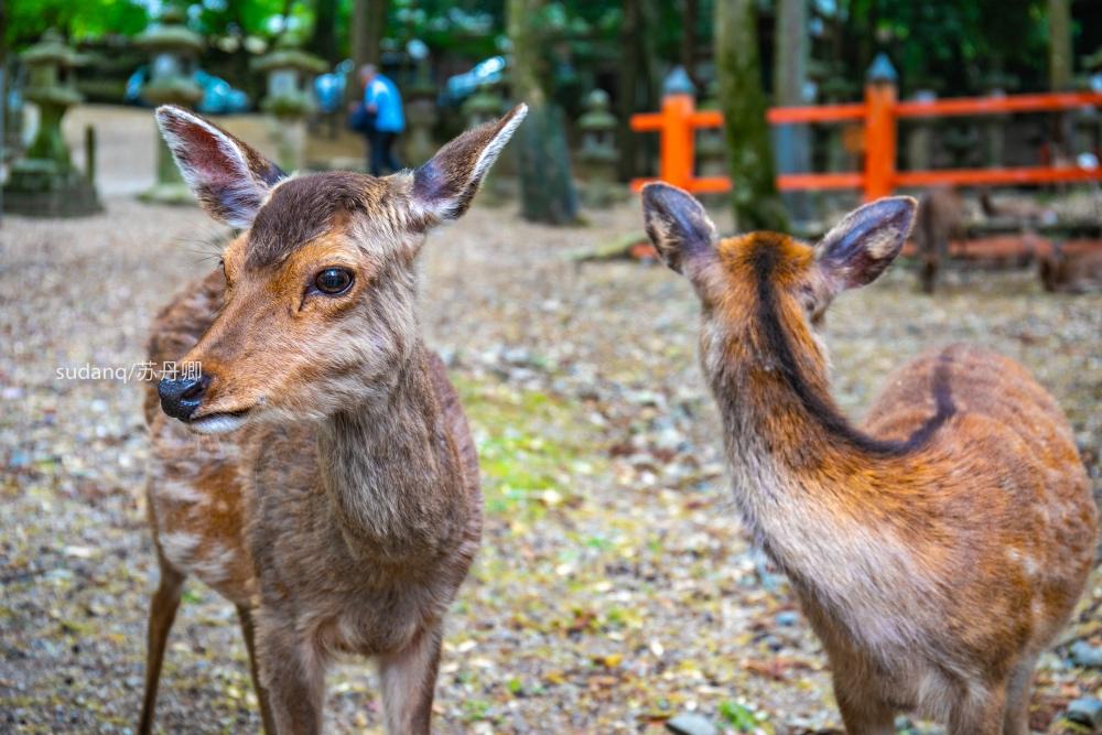 日本之旅,一定不能错过的世界遗产:春日大社,树深时见鹿