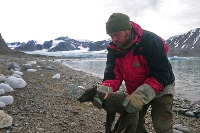 """76天3506公里,一只北极狐从挪威""""暴走""""至加拿大"""