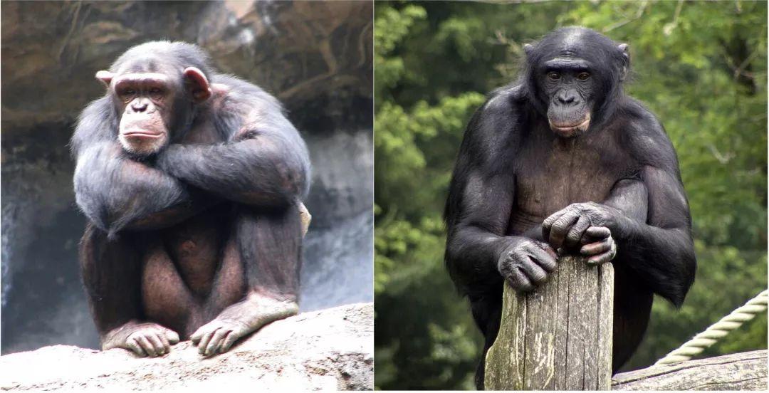 有妈的儿子像块宝,情敌都被妈赶跑_黑猩猩