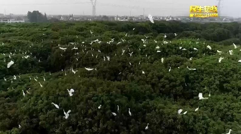 """海安网红地""""白鹭海""""背后的故事:种一片香樟引万鸟归林"""