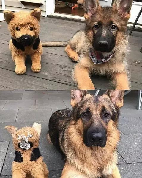 有的狗,养着养着就大大大大大大大了!