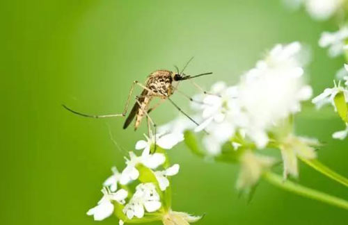 蚊子是地球上杀人最多的动物,科学家为什么不想办法把蚊子灭绝?