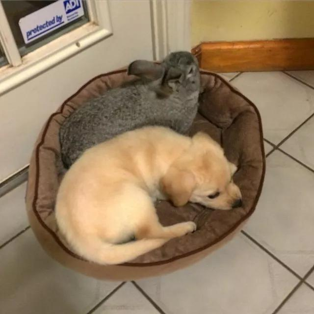 狗窝被猫抢了算啥,被兔子抢了才叫丢脸!