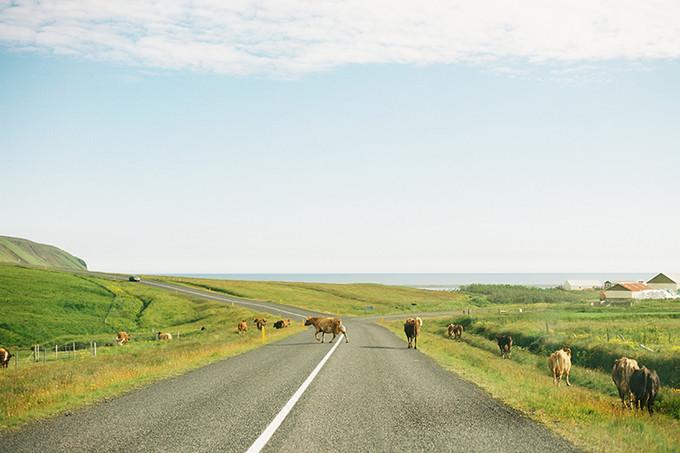 公路上的牛
