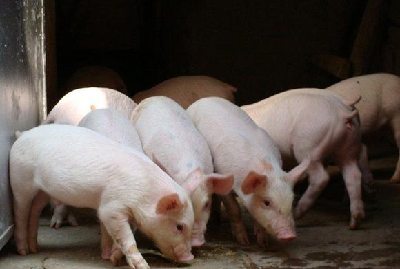 7.31存栏量锐减致猪价飙升,四川破10,广西破11,养猪人该看看