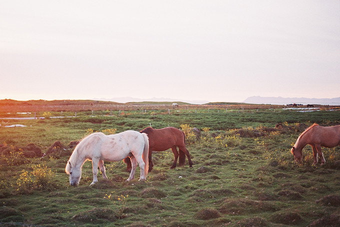 休憩中的冰岛马