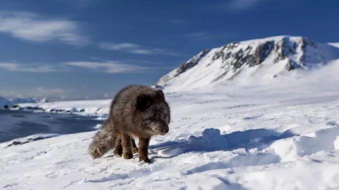 76天3605公里,一只北极狐的史诗般旅程,背后的真相令人心酸