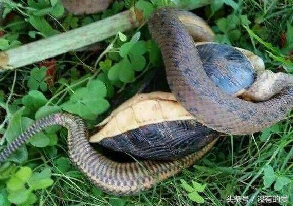 食蛇龟真的能吃蛇吗?食蛇龟是怎么吃蛇的