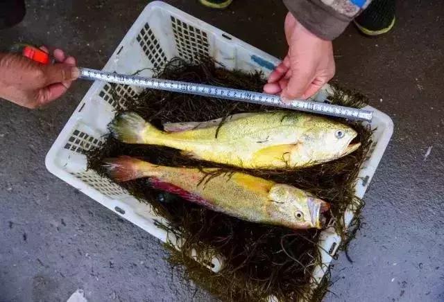 野生大黄鱼多少钱一斤(两条鱼卖出3000多元高价)