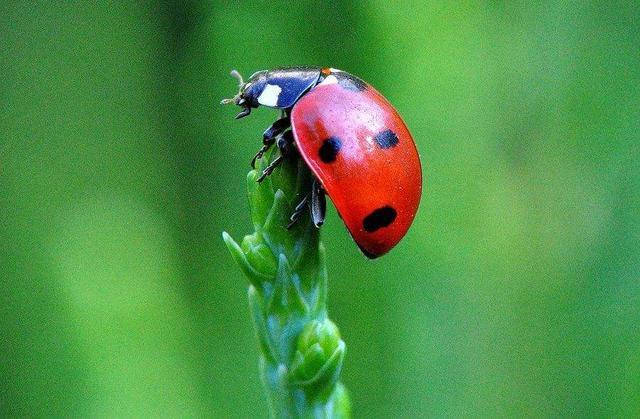 瓢虫吃什么食物(这种坏的瓢虫会吃蔬菜哦)