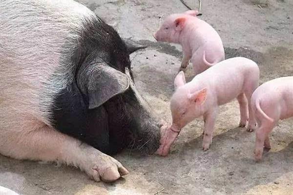 母豬保健藥是中藥好還是西藥抗生素好呢?哪種母豬保健方案才是最好的母豬保健