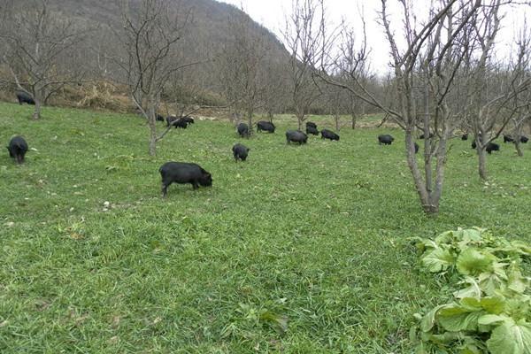 养猪养肠道