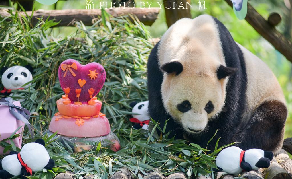 #一城一夏#华蓥山大熊猫基地的淘淘十三岁生日,全国各地的粉丝赶来为他庆祝
