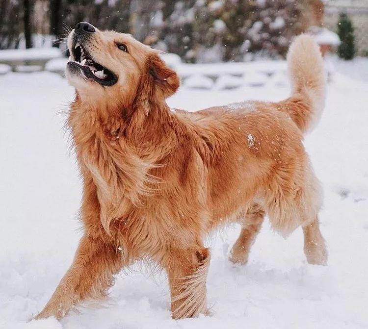 """这只金毛治疗犬的""""温柔乡"""",看一眼就醉了"""