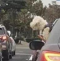 狗狗在高速路上炫富:我有玩具,而你一无所有