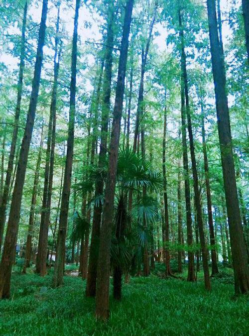 常州西太湖边竟然有1.33万平方米公共绿地,还有大片水杉林!