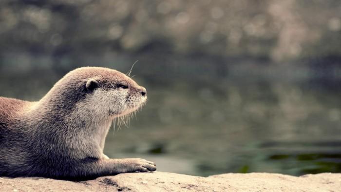 """Win10免费4K壁纸包""""Otters""""发布"""