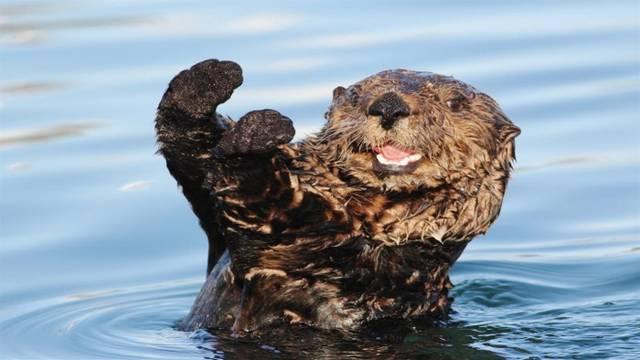 """Win10免费4K壁纸包""""Otters""""发布的照片 - 3"""