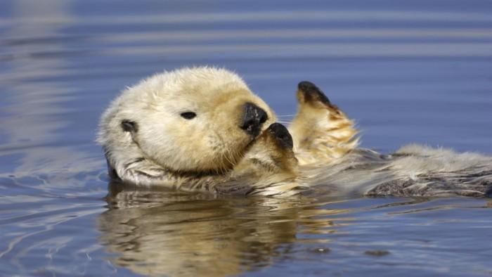 """Win10免费4K壁纸包""""Otters""""发布的照片 - 4"""