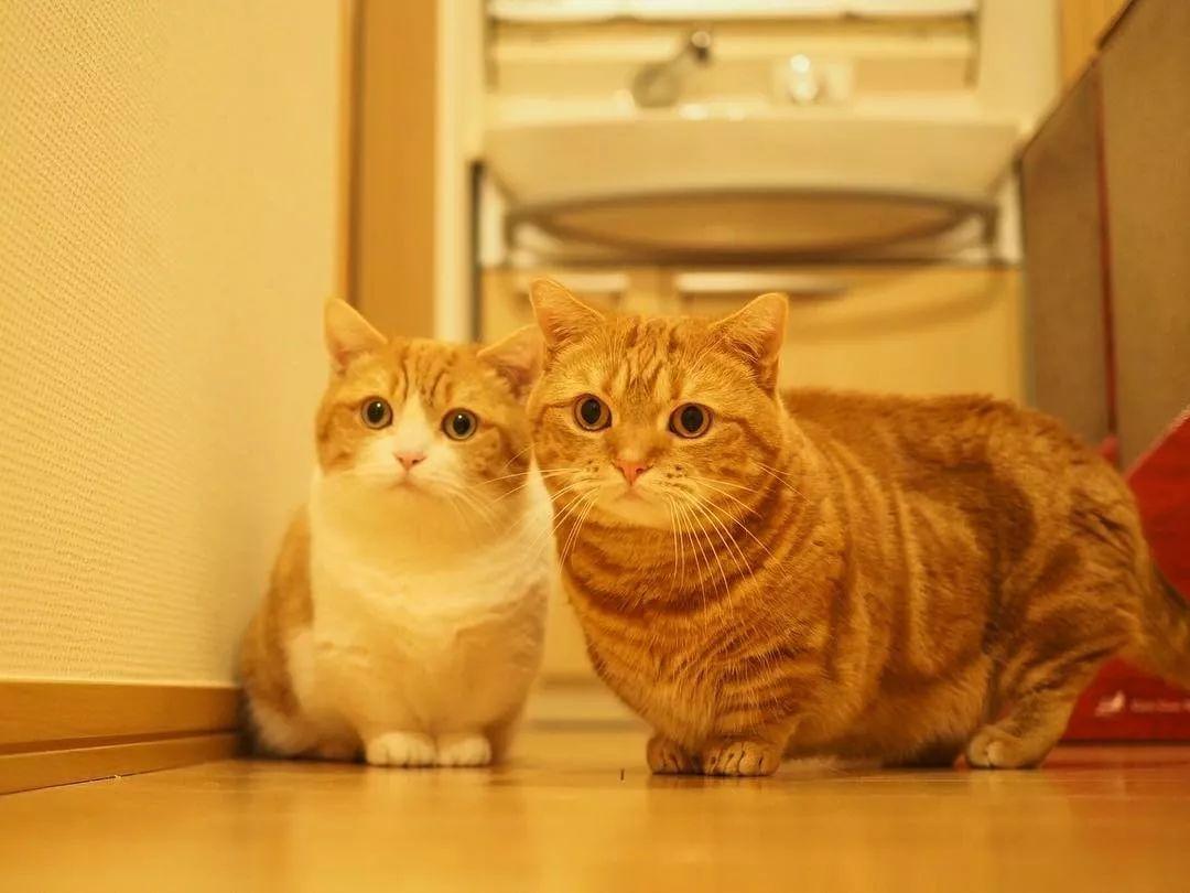 """日本短腿猫咪兄妹靠""""打排球""""爆红网络!飞扑、吼叫、还会垫球"""