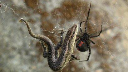 生活在澳大利亚的三种致命蜘蛛