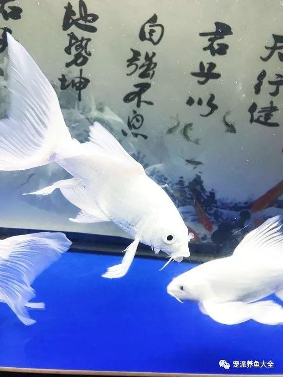拥有神仙颜值的三大宠物鱼,每一种都好看到极致!~