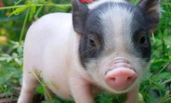 给父母买了只宠物猪,养了半年之后,父亲问这猪能吃吗