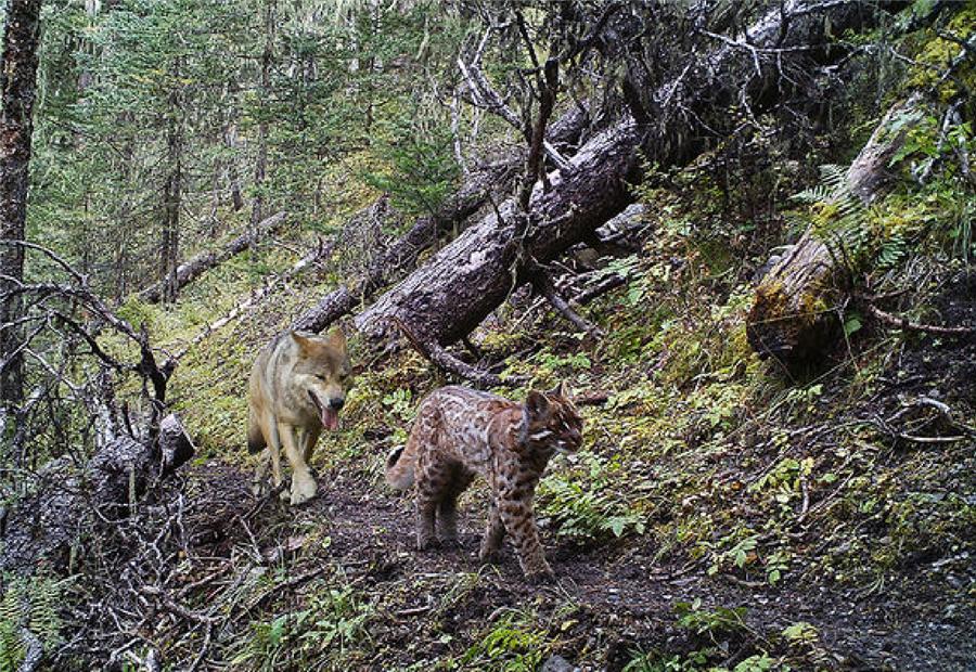 原创雅鲁藏布大峡谷出现金猫,连野猪都敢下手,喜欢拔掉鸟的羽毛吃肉