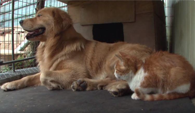 """橘猫""""看上""""金毛,金毛却老欺负橘猫,橘猫失踪后金毛才懂得珍惜"""