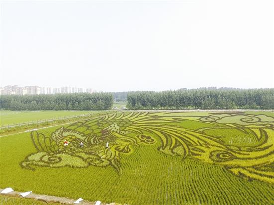 """曹妃甸:""""凤凰展翅稻田画""""成靓丽风景"""
