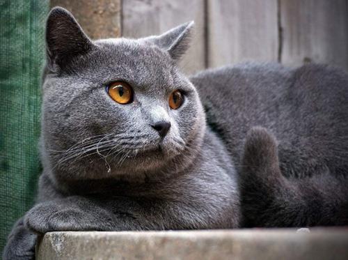 原创不爱叫的蓝猫最近叫唤,蓝猫突然半夜爱叫