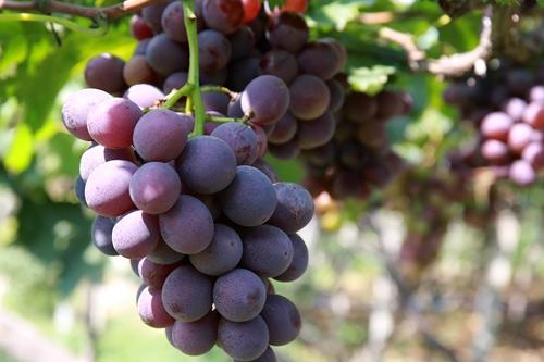 寻找儿时的味道!夏庄巨峰葡萄成熟啦