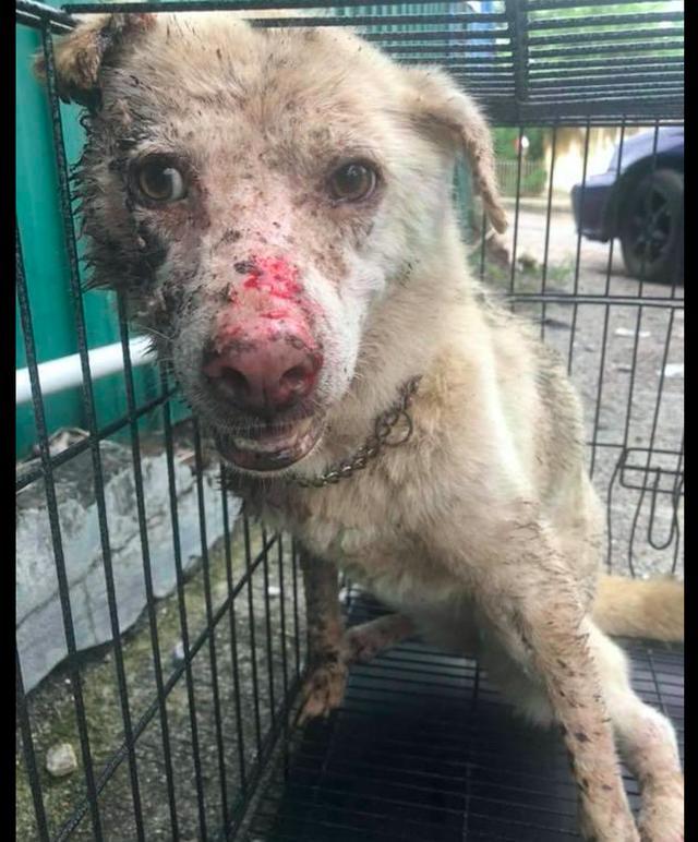 原创狗狗被前主人虐待三个月,它还想着为他看家护院,傻的让人心疼!