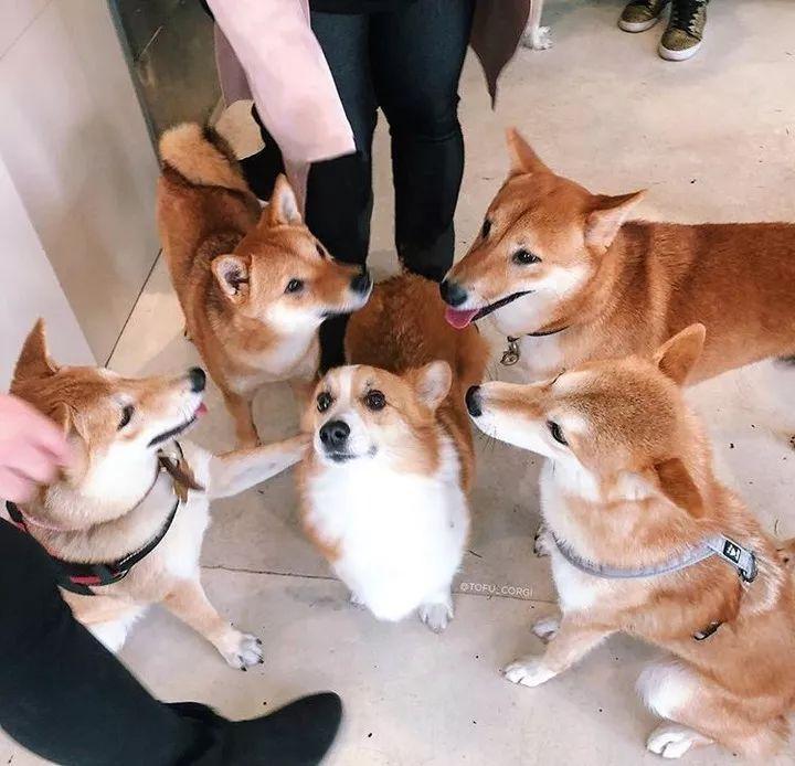 原创当一只柯基闯入柴犬的party:凭什么你们都比我高!
