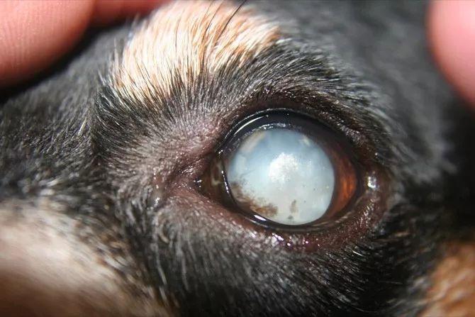 狗狗有眼屎小心是失明征兆,再不注意就瞎了!!